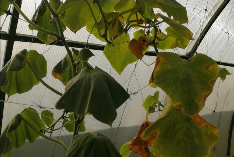 Осенняя обработка огуречной теплицы