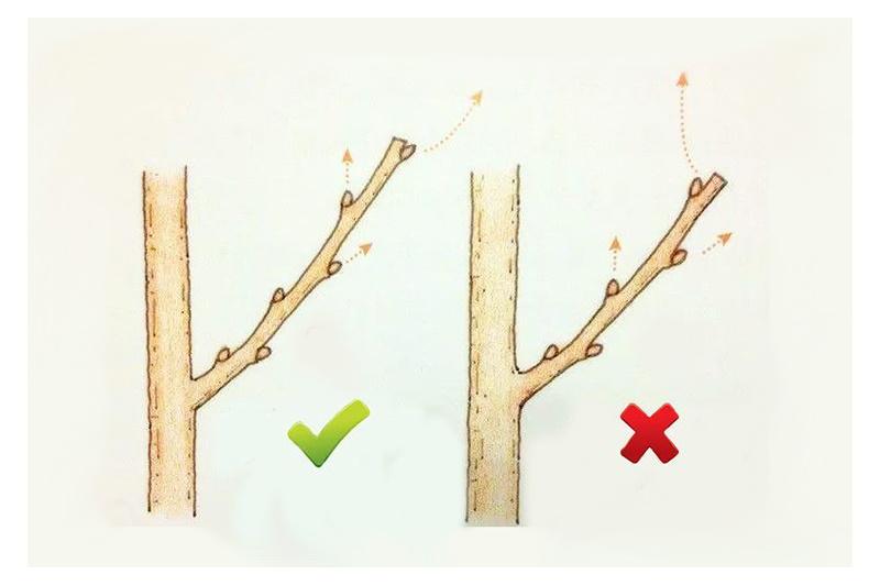Схема правильной обрезки веток крыжовника