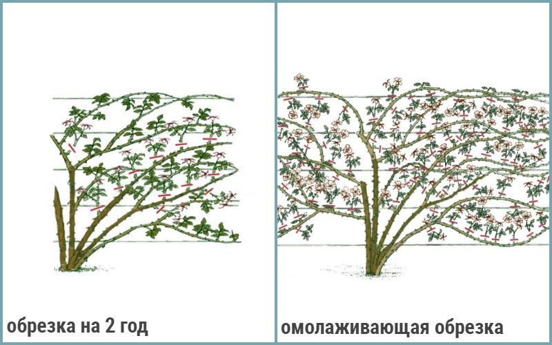 Осенняя обрезка плетистых роз