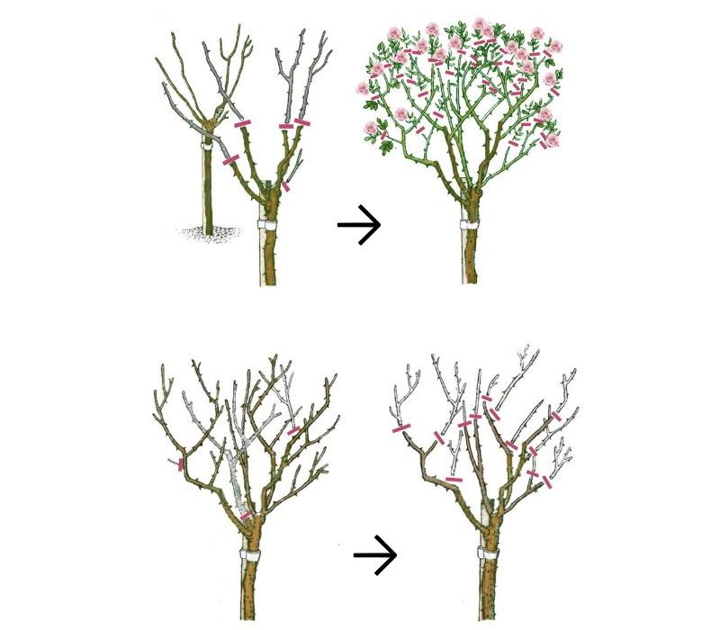 Схема обрезки штамбовых роз