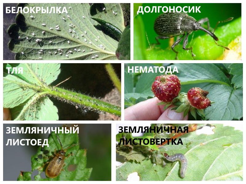 Вредители сорта клубники мальвина