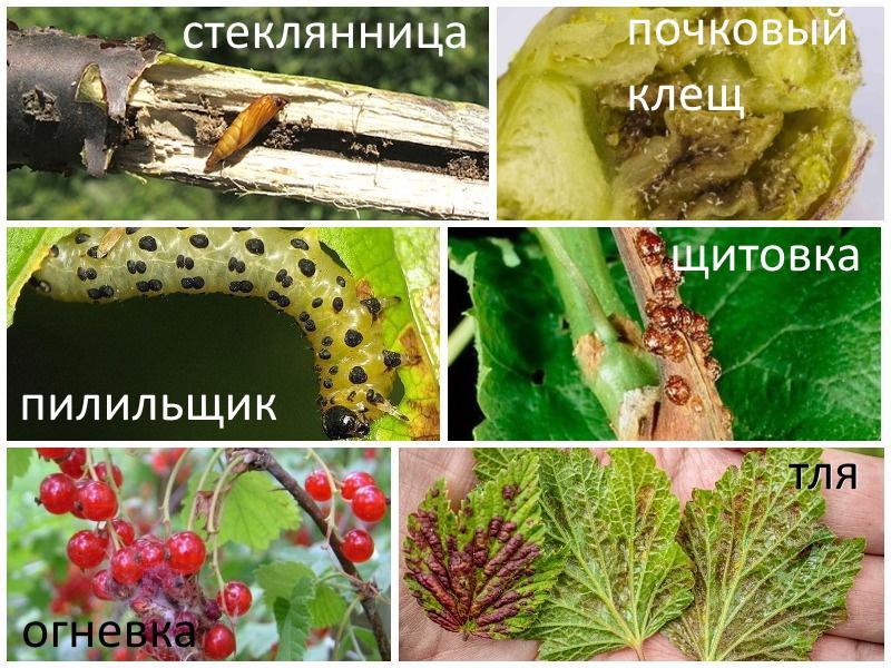 Обработка смородины осенью от вредителей