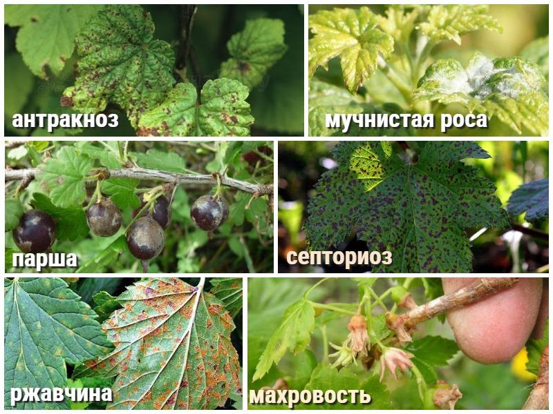 Обработка смородины осенью от болезней