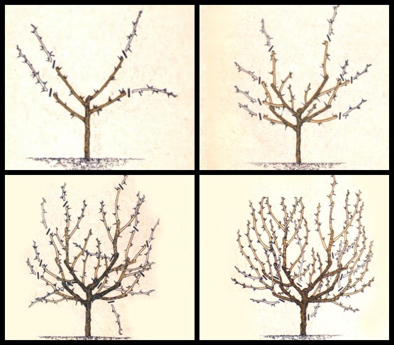 Схема пошаговой обрезки крыжовника