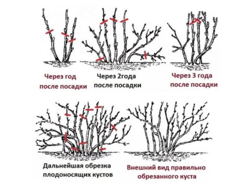 Схема в картинках обрезки крыжовника