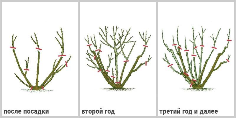 Схема обрезки полиантовых роз