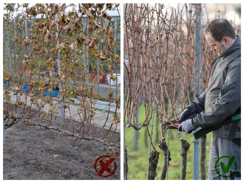 Пересадка винограда после сброса листвы осенью