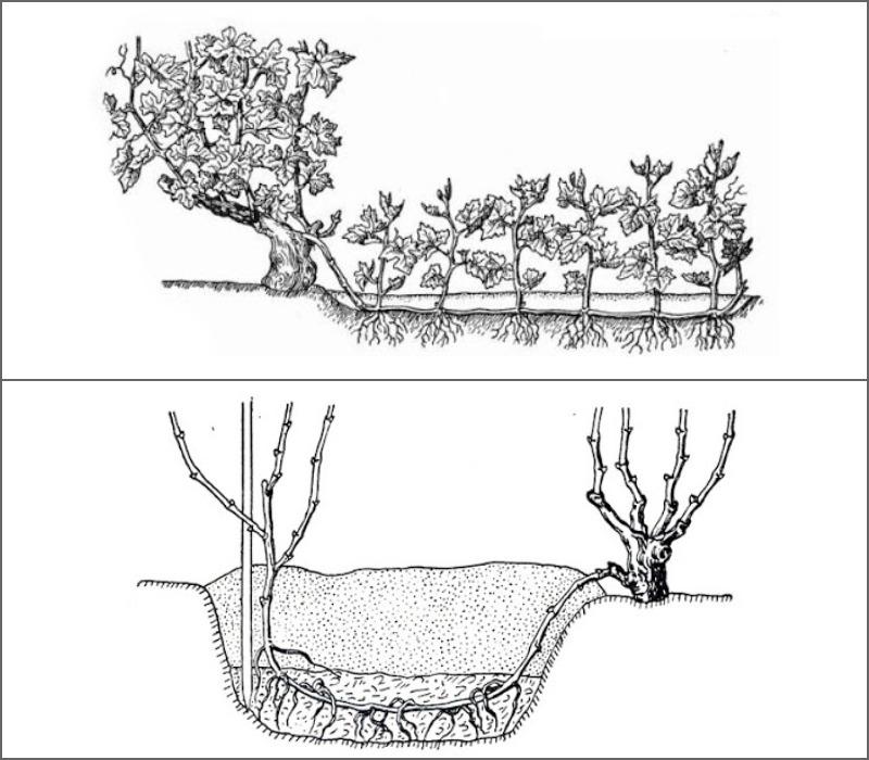 Пересадка винограда отводками