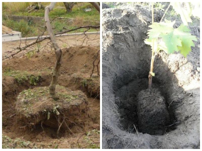 Пересадка винограда осенью с комом земли
