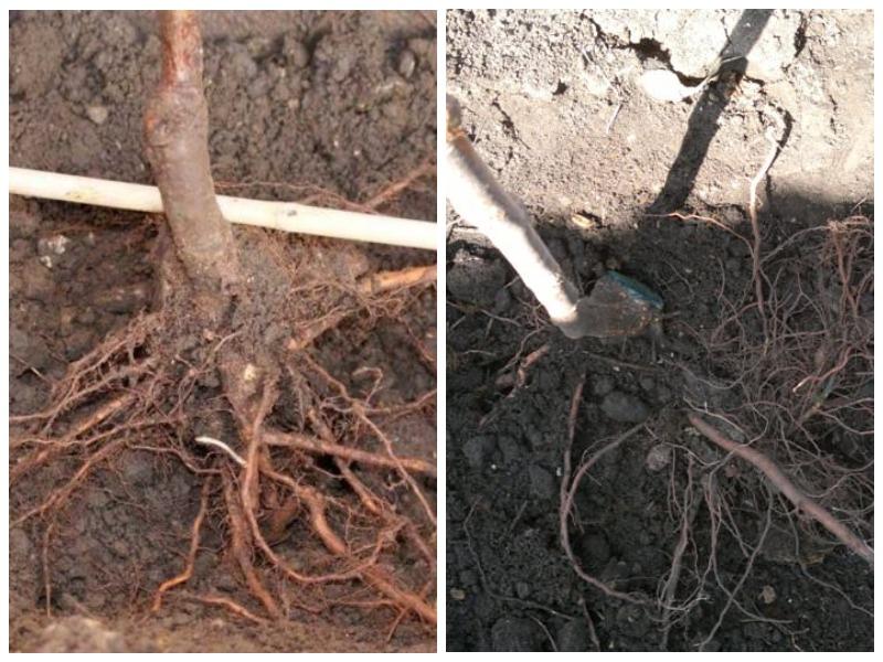 Пересадка винограда осенью с частично открытым корнем