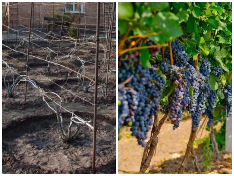 Правильная пересадка винограда