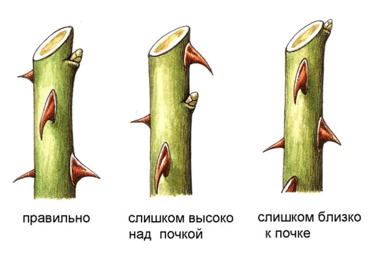 Схема обрезки ветки розы осенью