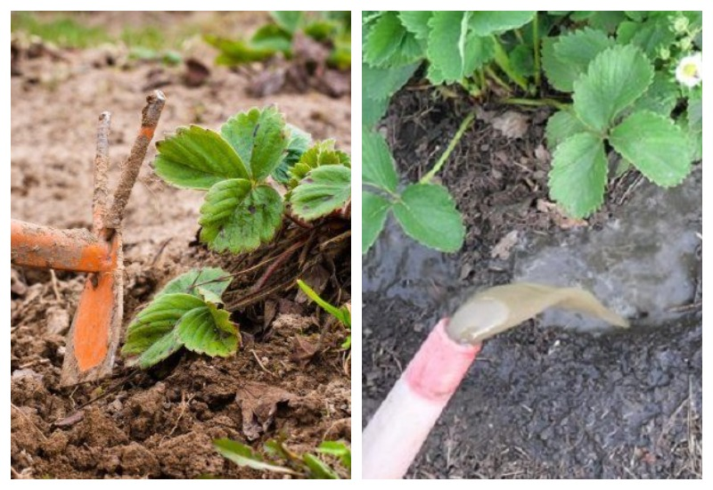 Выращивание и уход за клубникой сорта эльсанта