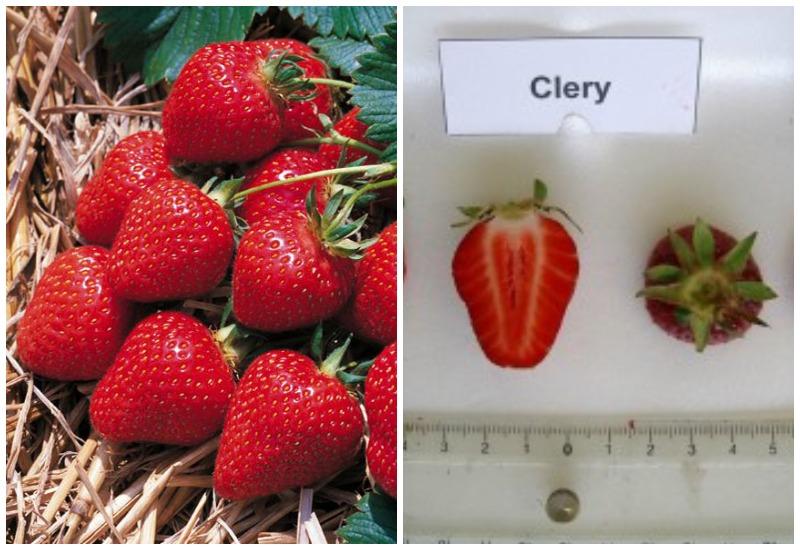 Фото ягод клубники сорта клери