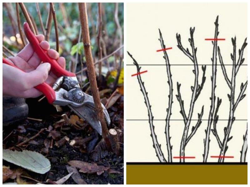 Осенняя обработка и обрезка малины
