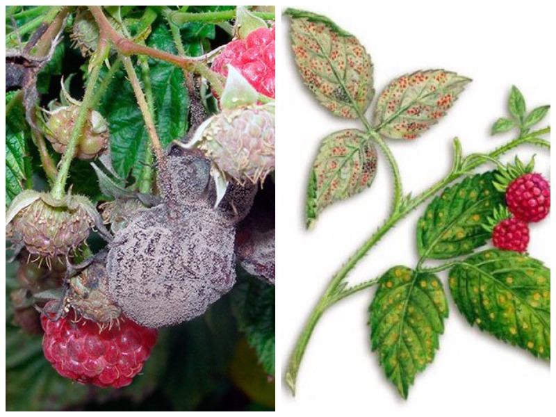Обработка малины осень от болезней