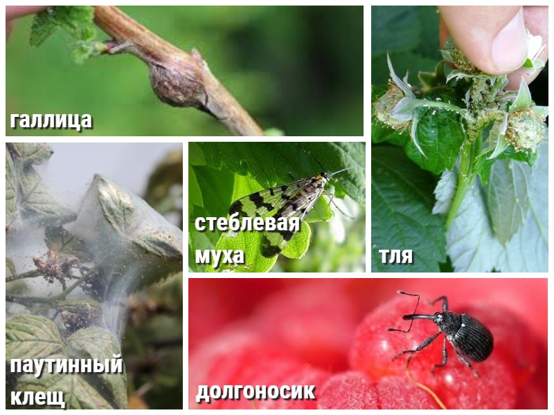 Осенняя обработка малины от вредителей