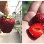 фото ягоды клубники сорта мальвина
