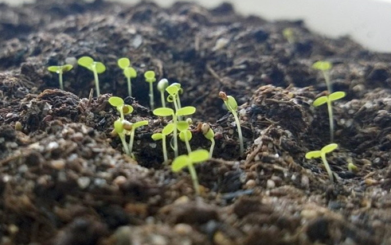 посадка клубники на рассаду семенами