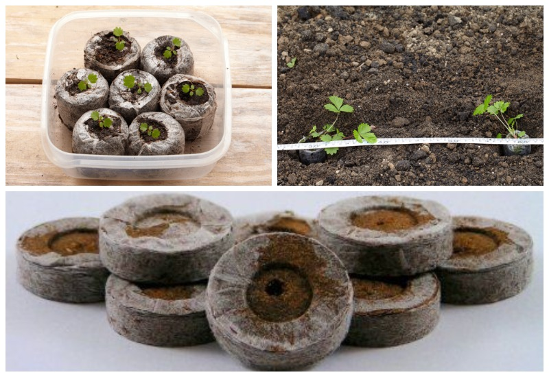 посадка семян клубники на рассаду в торфяных таблетках
