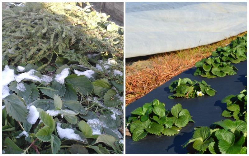 Подготовка к зиме клубники фестивальной ромашка