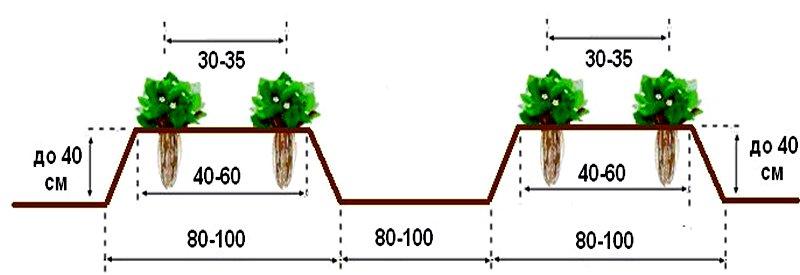 клубника максим, двухстрочная схема посадки