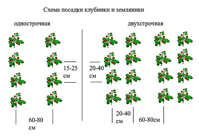 схема посадки клубники кабрилло