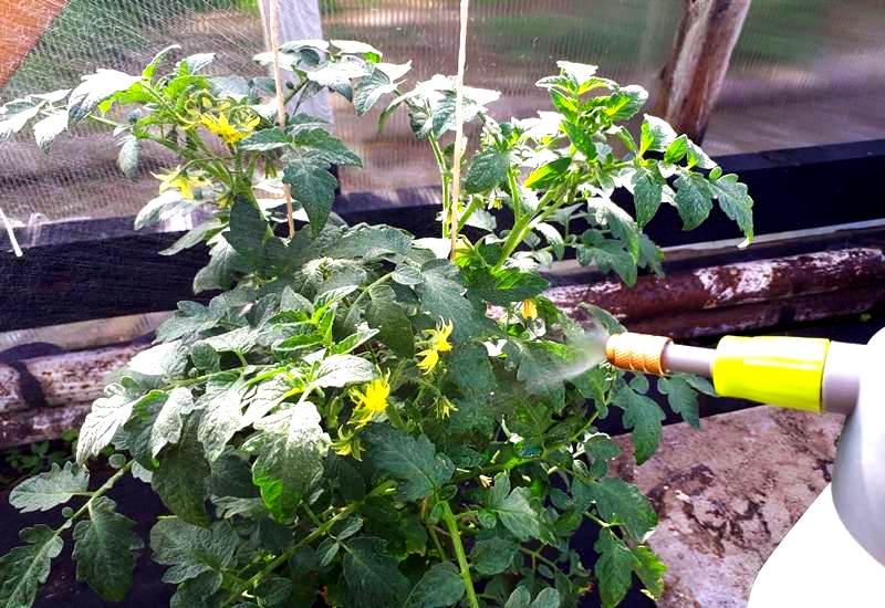 опрыскивание борной кислотой для завязи помидоров