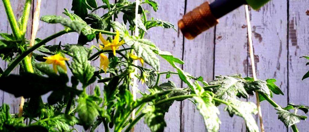 почему нет завязи на помидорах в теплице