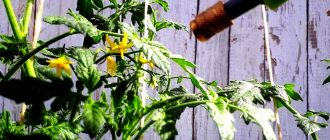 чем опрыскать помидоры для завязи в теплице