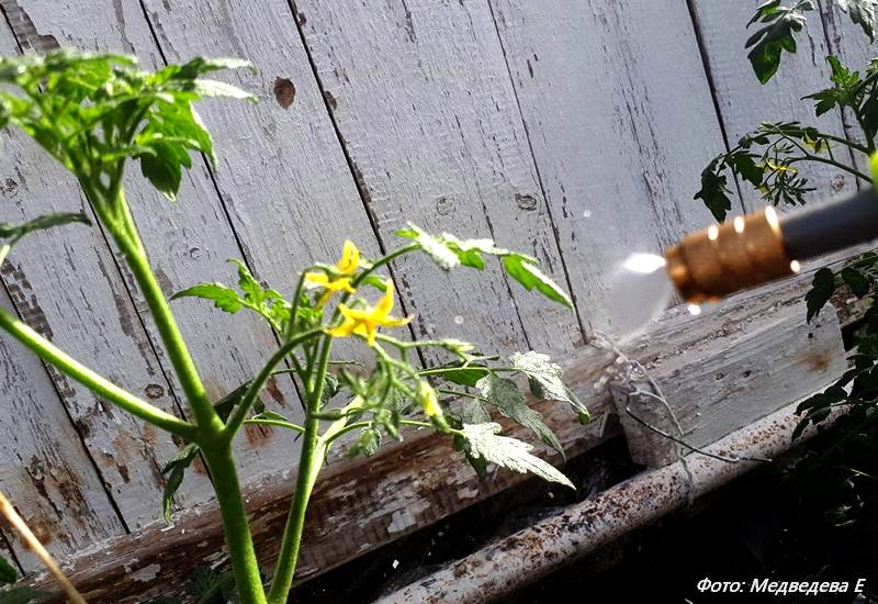 опрыскивание помидор для завязи, мед