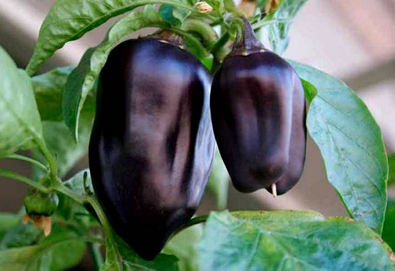 фиолетовый болгарский перец арап