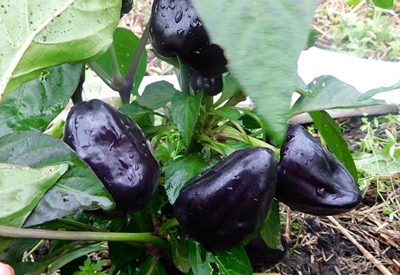 фиолетовый болгарский перец клякса
