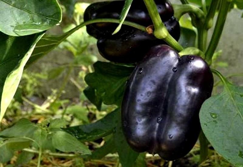 фиолетовый болгарский перец пурпурный колокол