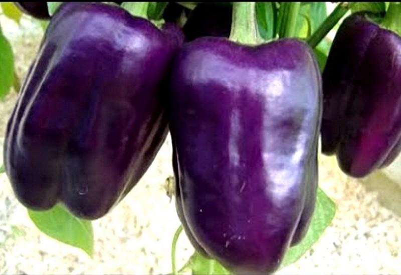 фиолетовый болгарский перец сиреневый туман