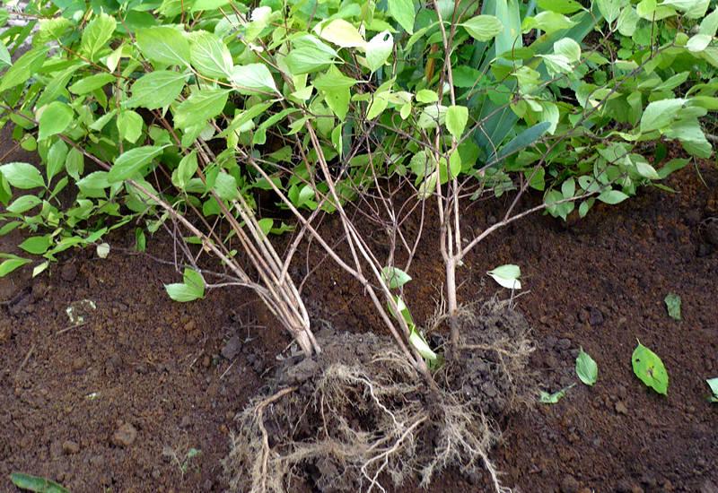 размножение жасмина делением куста