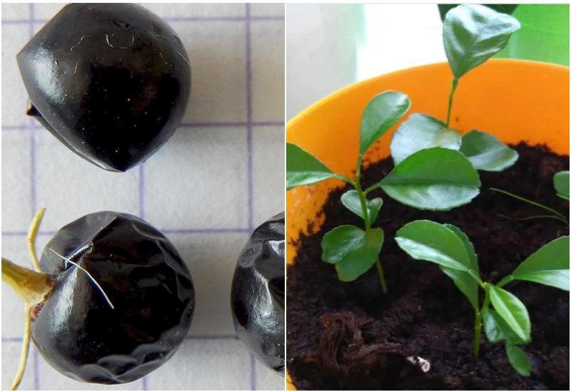 размножение жасмина семенами