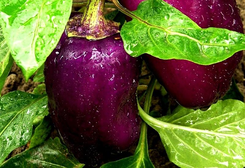фиолетовый болгарский перец ода
