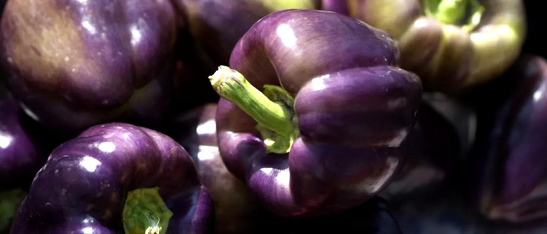 фиолетовый болгарский перец