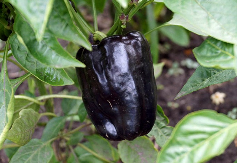 фиолетовый болгарский перец багира