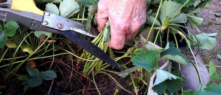 обрезка клубники после сбора урожая в августе