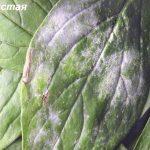 рудбекия, болезни и вредители