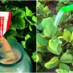 чем подкормить клубнику после плодоношения и обрезки в августе