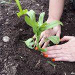 посадка рудбекии семенами, рассадой